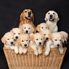 Golden Retriever Lovers