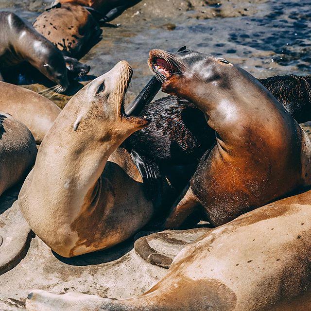 Agree to disagree. - - - - #sealbeach #sonyambassador #lajolla #photographer #hypebeast #55mm #playa #photography #tripotocommunity #traveler #viajero #travel #love #seals #sony #a7rii #daytrip #wanderlust #adventure #destiny #viaje #shot #sandiego #travelphotography #travelgram #instagood #foca #teslaroadtrip #playa