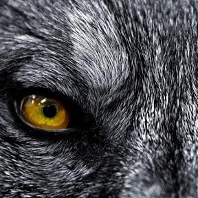 wolfeyez300
