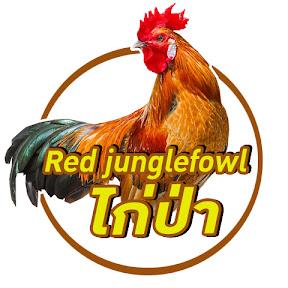 Red junglefowl ไก่ป่า