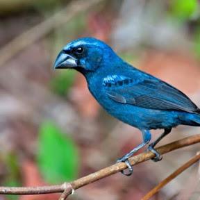 Pássaros Manejos & Campeadas