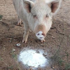 PIGS UNDER PRESSURE