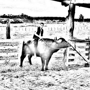 Doma racional de bovinos