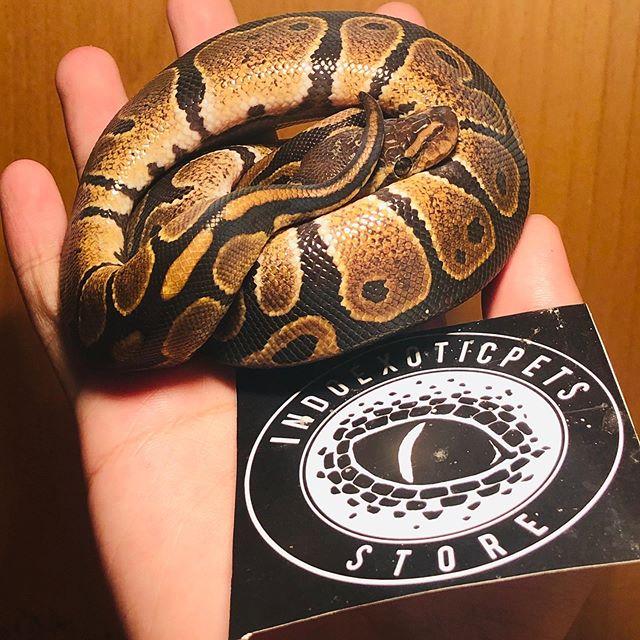 Everybody love normal baby ball. Kenapa? Krn hewan ini pintu masuk para hobbiis ular pertama kali. Mau coba? ❤️#reptile #reptileindo #indoexoticpets #indoexoticpet #indoexotic #ballpython #bp