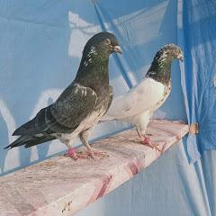pigeons Corner