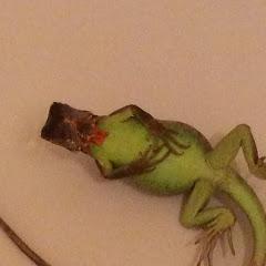 Crazyscales Iguanas