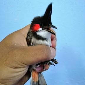 Chào mào hót - Birds chirping