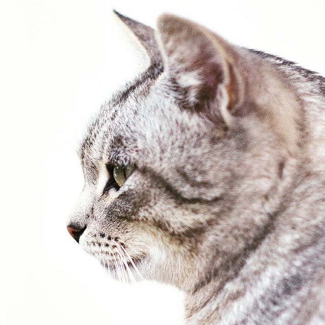 Rate this photo ♥ Check out the BIO for best cat videos ♥  #cat #cats #pets #petstagram #petphotography #cutest #cute #adorable #cutecats #catlovers #kitten #instacat #catstagram #catsofinstagram #catlover #kitty #lovecats #meow #catlove #kittycat #cats_of_instagram #caturday #catoftheday #likeforlike #follow2follow #like4like