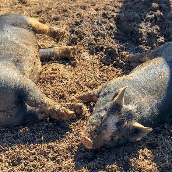 Ellie and Poppie taking a warm sun bath.  #godscreatures #creation #animallovers  #pig #pigsofinstagram #govegan #goveganfortheanimals