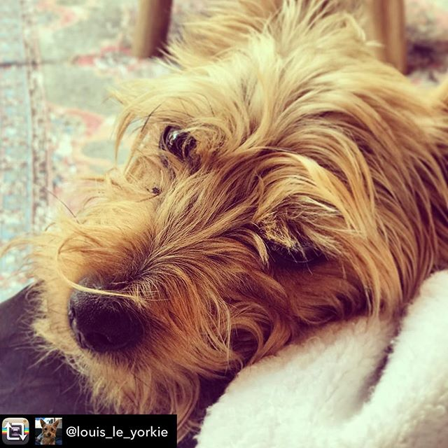Repost from @louis_le_yorkie using @RepostRegramApp - Sometimes stoopid humans annoy me but when they're not here the world doesn't feel right! Come home please @gblagden me and the other Stoopid human sort of miss you a lot. #unit #hatehumanwork