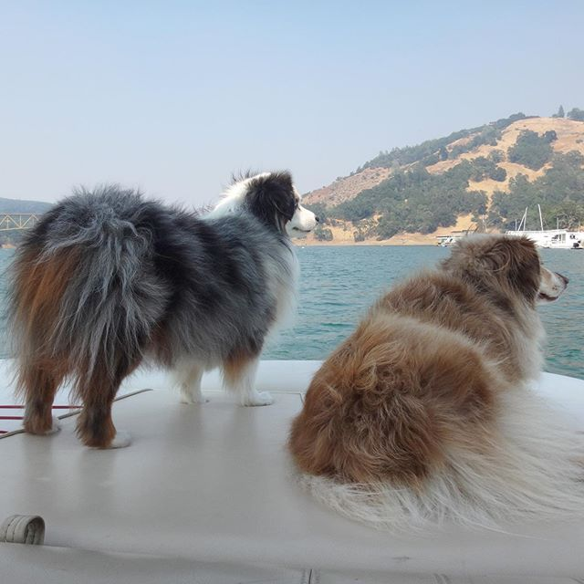 Boat life suits them well... #tahoeaussies #boat #boats #boatlife #lake #lakelife #boatdog #lakedog #weeklyfluff #bestwoof #dogsonadventures #australianshepherd #americanshepherd #floof #fluffydogs