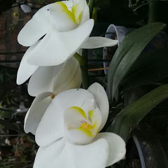Dete das Orquídeas