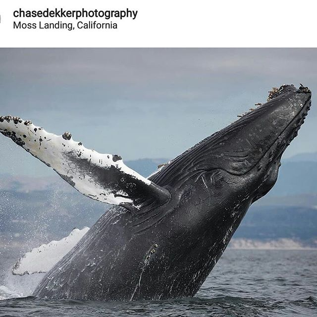 Wow! We found this shot by @chasedekkerphotography taken on the Monterey Bay. That is an awesome picture.  While our camera skills aren't near this guy's we do get to enjoy the wildlife while on our sailing trips. . . . #nomadcharterssantacruz  #whale  #monteteybay #getoutonthewater
