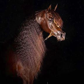Best Arabian Horses