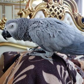 Птичий Фургончик попугай матершинник Рико