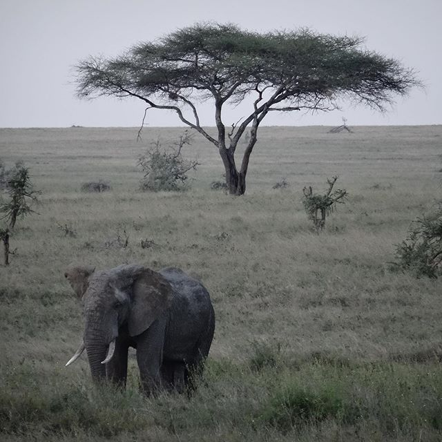"""This is when time stood still. This was """" the moment"""". I'm not an overly emotional person, and it took everything I had to not absolutely break down... My entire life, as far back as I can remember, I dreamt of going to Africa. One day I would see elephants, zebra, lions, and cheetahs, rhinos and hippos... I would experience the sunset. I would taste the food, and meet some beautiful souls.  This was our first night in the Serengeti.  The sun was setting and we were almost to our camp. ( yes we camped in 2 man tiny tents)...This was my moment.  Still chokes me up today, nearly 6 years later... . . . . . . . . #serengeti #gadventures #tanzania #tia #thisisafrica #ileftmyhearrthere #elephant #landscapelover #glt #raw_africa_ #raw_africa #gadventures #gadventuresafrica #gadventurestour"""