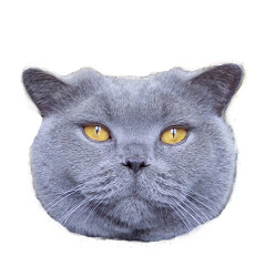 Coconut - Blue British Shorthair cat