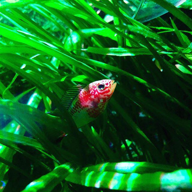 A pop of color in a sea of green🌱 #plantedtanks #freshwaterplants #dwarfcichlid #apistogramma #cichlidfish #aquanature #cryptocoryne #aquariumhobby #anubiasaquaticplants #aquaticplants #aquariumsdaily #aquatics #aquascapers #hightechplantedtank #hightechtank #communitytank #cichlidkeeper #dwarfcichlids #cichlidsofinstagram #apistogrammas