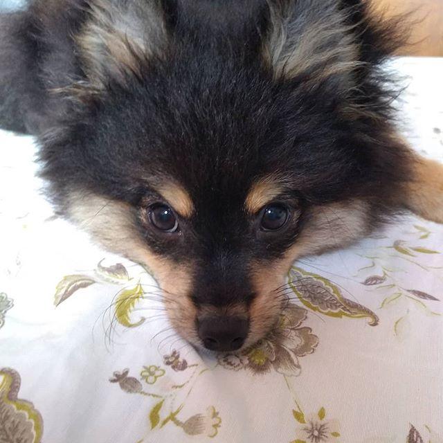 O mais novo integrante da família ❤️ #dog#doglovers #spitzalemao #pet #omelhoramigodohomem