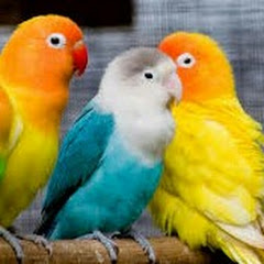 Aligarh Budgies and Finches