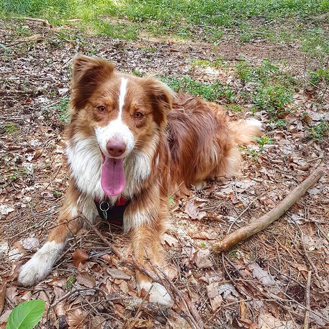 Ich mach' eine kurze Pause und dann geht es weiter oder? #maggie #immerauftour . . #dogstagram #dogsbeingbasic #dogs_of_world #dogsofinstaworld #doglifestyle #happymoments #walk #spaziergang #pause #aussie #australienshepherd #austriangirl #pet #petstagram #petfancy #petsofinstagram  #lovemydog #happylife #aussieworld #aussiemodel