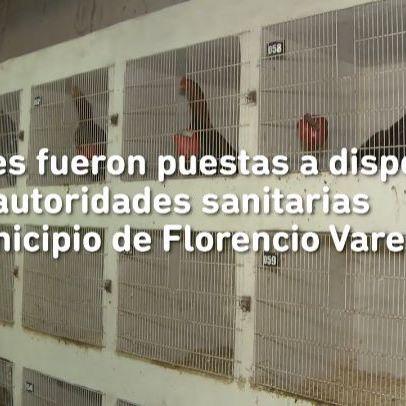 Rescatamos 378 aves en Florencio Varela y La Plata donde se realizaban riñas de gallos. La Policía de la Provincia detuvo a 5 hombres que organizaban las peleas y recaudaban el dinero de las apuestas. Ya no pueden hacerlo. La pelea permitida es contra la inseguridad.
