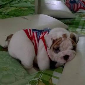 Chó Pug -Chó Bull