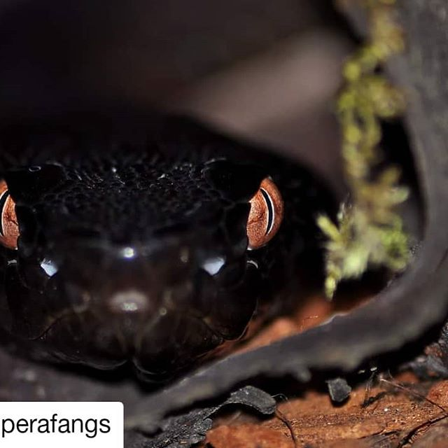 This picture is awesome 💥  #Repost @viperafangs • • • • • • Protobothrops tokarensis digesting last meal in his favorite hiding place 🙂 #tokarensis #protobothropstokarensis #protobothrops #tokarahabu #tokara #habu #venomous #venomoussnakes #snake #snakes #snakesofinstagram #instasnakes #snakeeyes #animalkingdom #wildlife #animallovers #melanistic #animalsofig