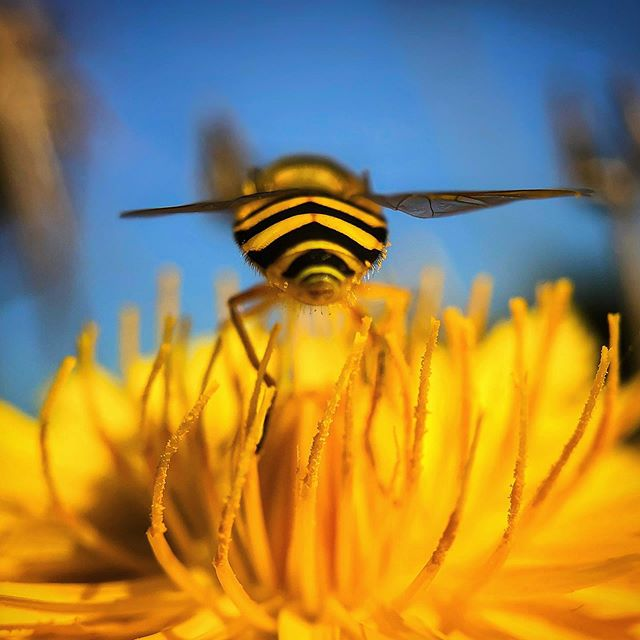 Another point of view  _______________________  #hoverfly #insect #pollinators #explore_macro #macro_mood #macro_highlight #igw_macro #majestic_macros #Thehub_macro #pocket_macro #macro_vision #macroclique #ig_fotografdiyari #igmw_macro #macroworld_tr #turklikeben_macro #macroandflora #featured_macros #macrogrammers #jonmacephotography #beaniedee #shotoniphone #shotonmoment