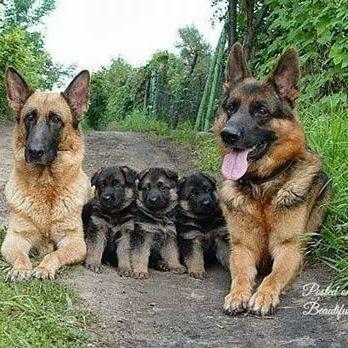 Семья❤ #hihankis #dog #animals #собаки #собака #овчарка #любовь #семья
