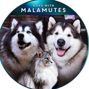 Life with Malamutes