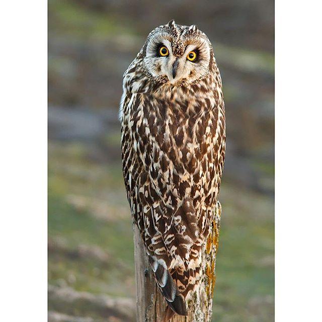 The Exorcist Owl!!! 🦉🦉 . . #owl #owls #owlsofinstagram #owly #owlstagram_feature #owllovers #owllover #owl_feature #owladdict