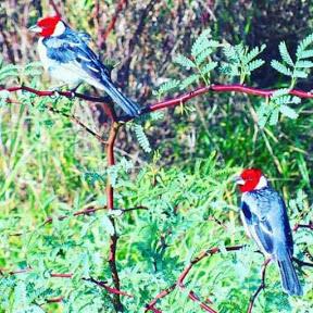 Pássaros Da caatinga Cbb