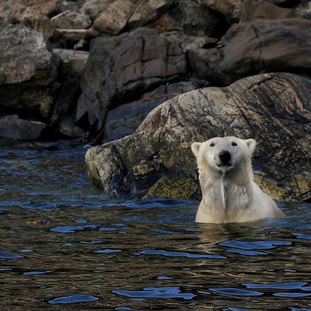Sometimes I get lucky😃 ..thanks Nanuk for the pose! #polarbear #torngatmountainsnationalpark #nunatsiavut #explorenl #newfoundlandandlabrador #thetorngats #parkscanada #cangeo #natgeo #exploretorngats #livelovecanada #getoutside #canadagram #canada🇨🇦