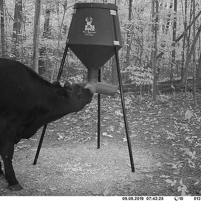 #cowgate #beabettercammer #sbolive #moo #angus #beef #bossbuck #feeder #robbery