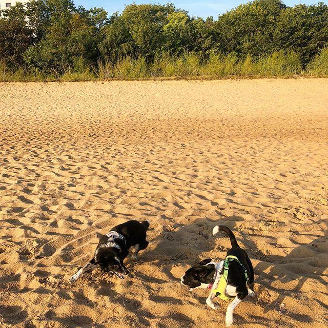Dzień dobry z Sopotu 😘 Pozdrawiamy z porannego spaceru 😀 #plaża #sopot #spacer #walk #spaziergang #Bałtyk #balticsea #morze #sea #meer #mare #beach #szaleństwo #urlop #piach #adopted #instadog #dogstagram #dogsofinstagram #mylove #psiepodróże #travelingdog #dontshopadopt #niekupujadoptuj #zpsem #wtrasiedasię