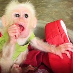 Monkey Baby Siro