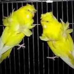 عصافير الزينه