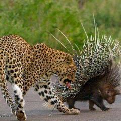Hedgehog刺猬