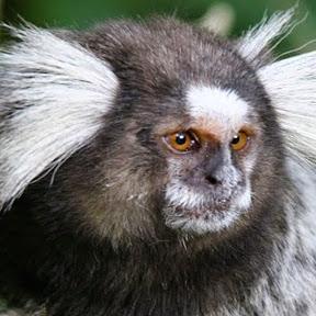 Macaco Sagui
