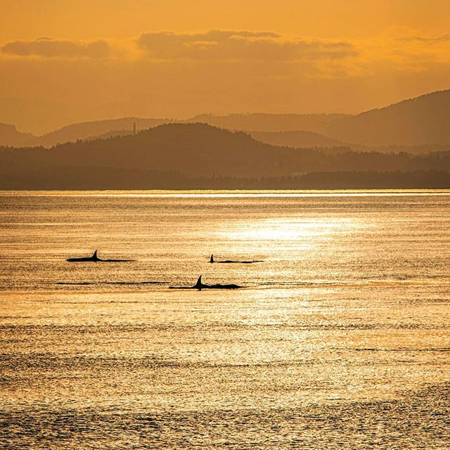 It's golden hour...the orcas are hunting salmon....and i could'nt be happier 🙏👌 Already looking forward to my next visit 🤘👏 #HeyLetsGo . . . . . . . #washington #sunsets #pnw #sanjuanislands #pnwonderland #exploretocreate #optoutside #northwestisbest #getoutside #neverstopexploring #outsideisfree #lifeofadventure #getoutstayout #liveoutdoors #upperleftusa #liveunscripted #orca #stayoutside #whale #exploremore #thegreatoutdoors #ourplanetdaily #earthfocus #roamtheplanet #welivetoexplore #discoverearth #beautifuldestinations #wildlife