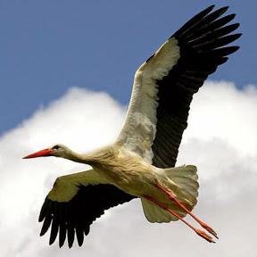 Stork Kosova