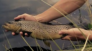 Dry or Die Brown Trout