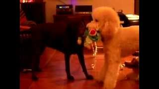 Dog fights for toy! Guess Tug of War winner, Kona the Labrador or Gigi the Poodle?