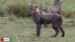 Cheetah Knock Eagle Out to Save Baby Fails   Lion Save Antelope and Monkey From Leopard