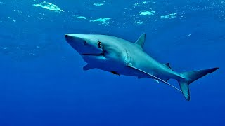 Getting personal with Blue sharks