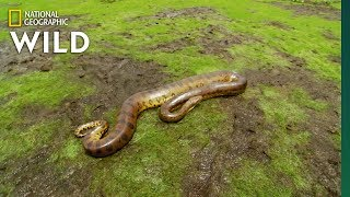 The Anaconda is a Heavyweight of Snakes | Nat Geo Wild