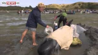 Rescuers Battle To Save Stranded Pilot Whales