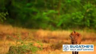 Mom And Cub At Yala National Park 2018 August 27