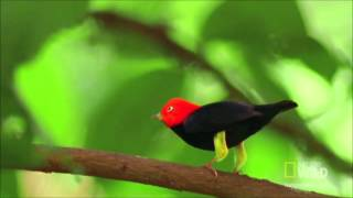 Unheard Beethoven : Red-capped Manakin Mating Dance (Hess 73)
